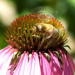 A Bee on an Echinacea, Royal Botanic Gardens Sydney Australia. Photo: N. Hayter