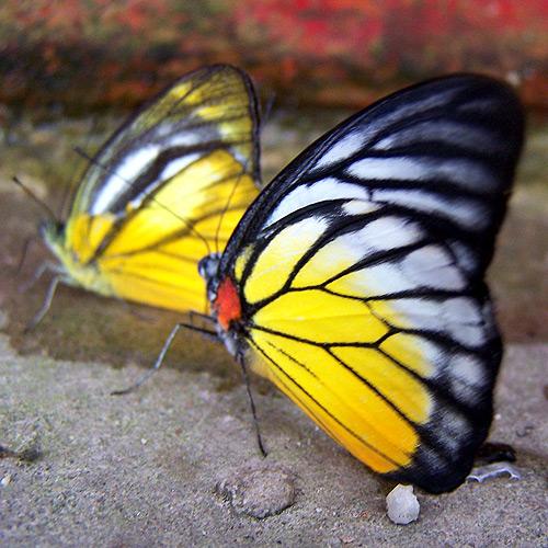 Malaysian Butterflies, Butterfly Park Kuala Lumpur Malaysia. Photo: N. Hayter