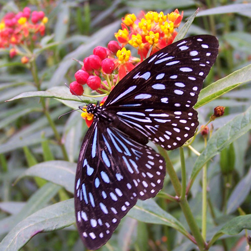 Malaysian Buttefly, Butterfly Farm Cameron Highlands Malaysia. Photo: N. Hayter