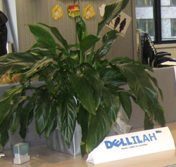 Delilah the Madonna Lily
