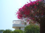 Bougainvillea with a Getty Building in background