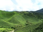 Cameron Highlands Tea Plantation. Photo: N.Hayter