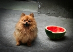Pomeranian with Watermelon bowl. Puxi backstreets Shanghai China. N.Hayter 2010.
