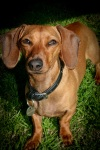 Big Earred Smooth Miniature Dachshund. N.Hayter 2010.