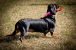 Smooth Miniature Dachshund with Pearls. N.Hayter 2010.