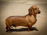 Miniature Smooth Dachshund at Beach. N.Hayter 2011.