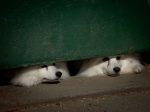 Japanese Spitz Dogs peeking under door. N.Hayter 2009.