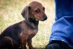 Young Dachshund Puppy. N.Hayter 2010.