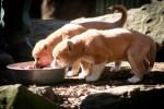 Dingo Pups Featherdale Wildlife Park Sydney. Photo: N.Hayter 2011