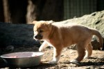 Dingo Pup Featherdale Wildlife Park Sydney. Photo: N.Hayter 2011