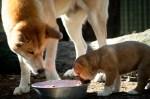 Dingo Pup Featherdale Wildlife Park Sydney. Photo: N.Hayter 2011
