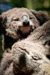 Koala. Photo: N.Hayter 2011