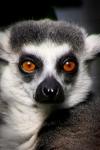 Lemur Melbourne Zoo. N.Hayter 2011