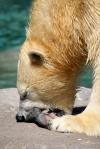 Polar Bear Eating Sea World. N.Hayter 2011