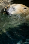 Polar Bear Headache SeaWorld. N.Hayter 2011