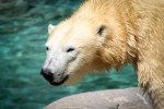 Polar Bear Sea World. N.Hayter 2011