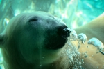 Polar Bear Underwater Sea World. N.Hayter 2011
