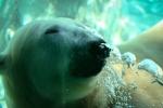 Polar Bear Underwater Sea World. N.Hayter 2011