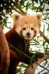 Red Panda Canberra Zoo. N.Hayter 2011