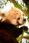 Red Panda Canberra Zoo 2. N.Hayter 2011
