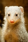 Mongoose Central Park Zoo NYC. N.Hayter 2012