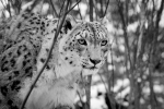 Snow Leopard Central Park Zoo NYC. N.Hayter 2012