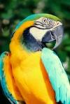 Blue Yellow Macaw Nassau Bahamas. N.Hayter 2012