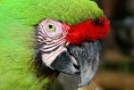 Green Macaw Nassau Bahamas. N.Hayter 2012