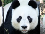 Images of Pandas – Wang Wang The Panda – Adelaide Zoo