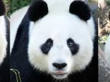 Images of Pandas – Wang Wang The Panda – AdelaideZoo