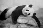 PandaSmithsonianZooWashingtonDC