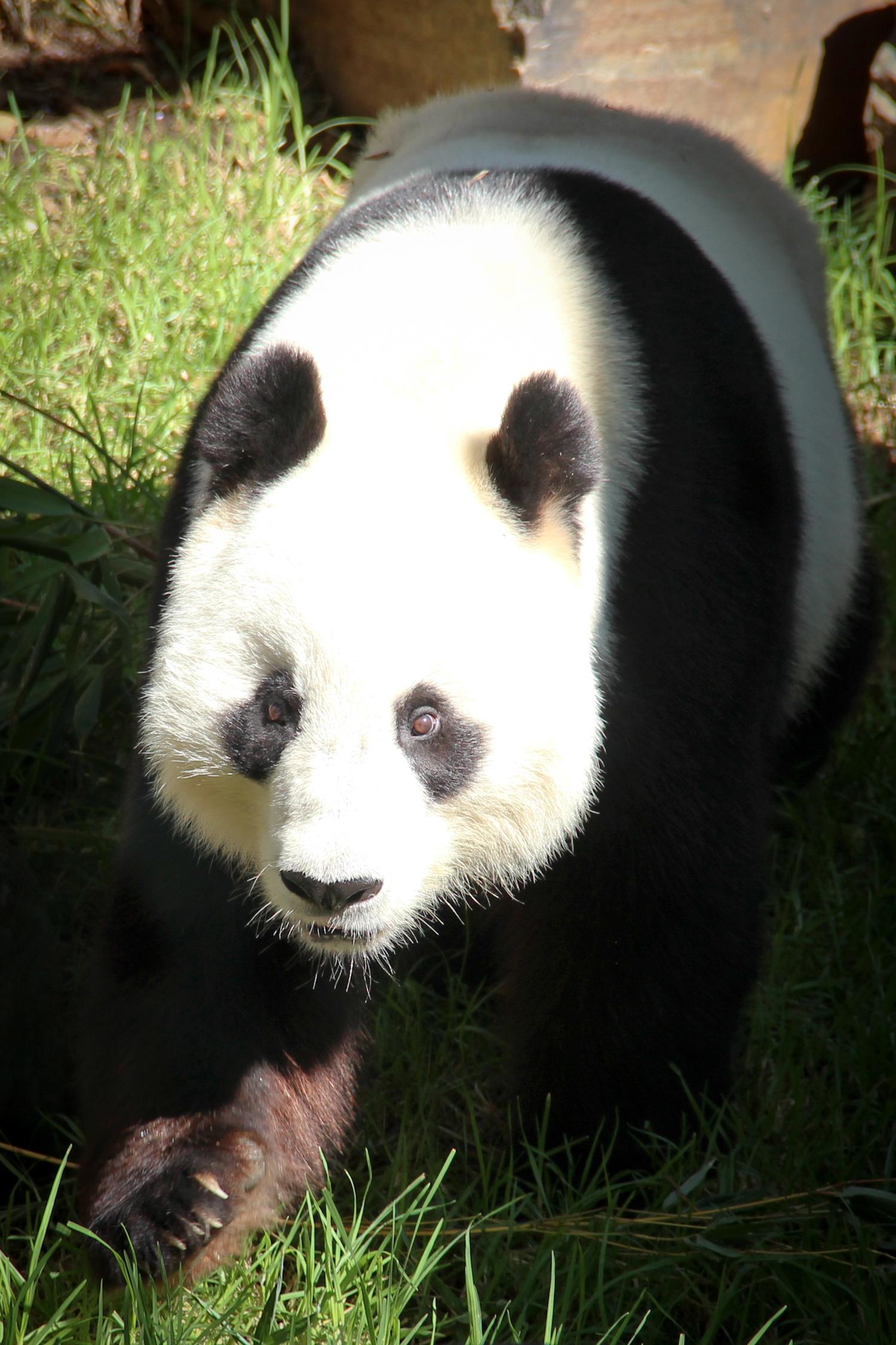 Giant Panda Cubs Playing Images of Pandas – W...