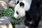 WangWangPandaAdelaideZoo (3)