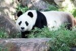 WangWangPandaAdelaideZoo (5)