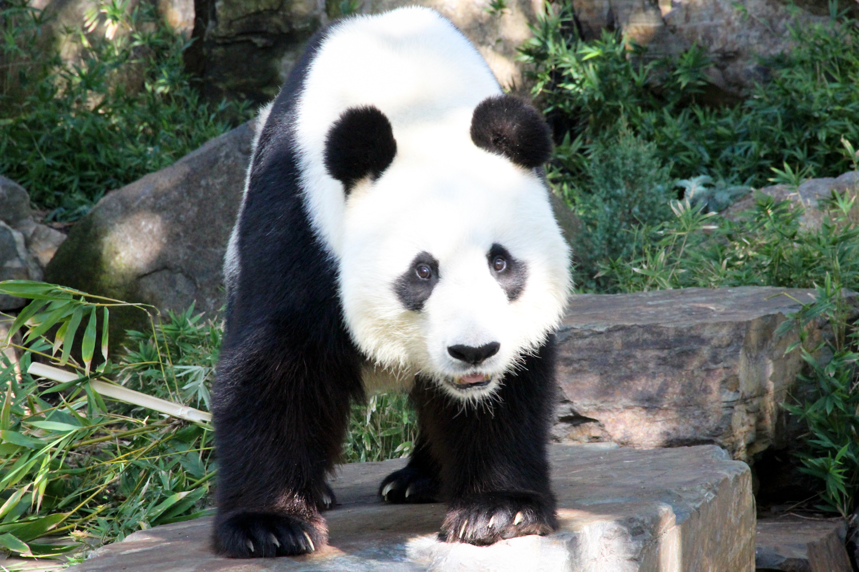 Images of Pandas – Wang Wang The Panda – Adelaide Zoo ...